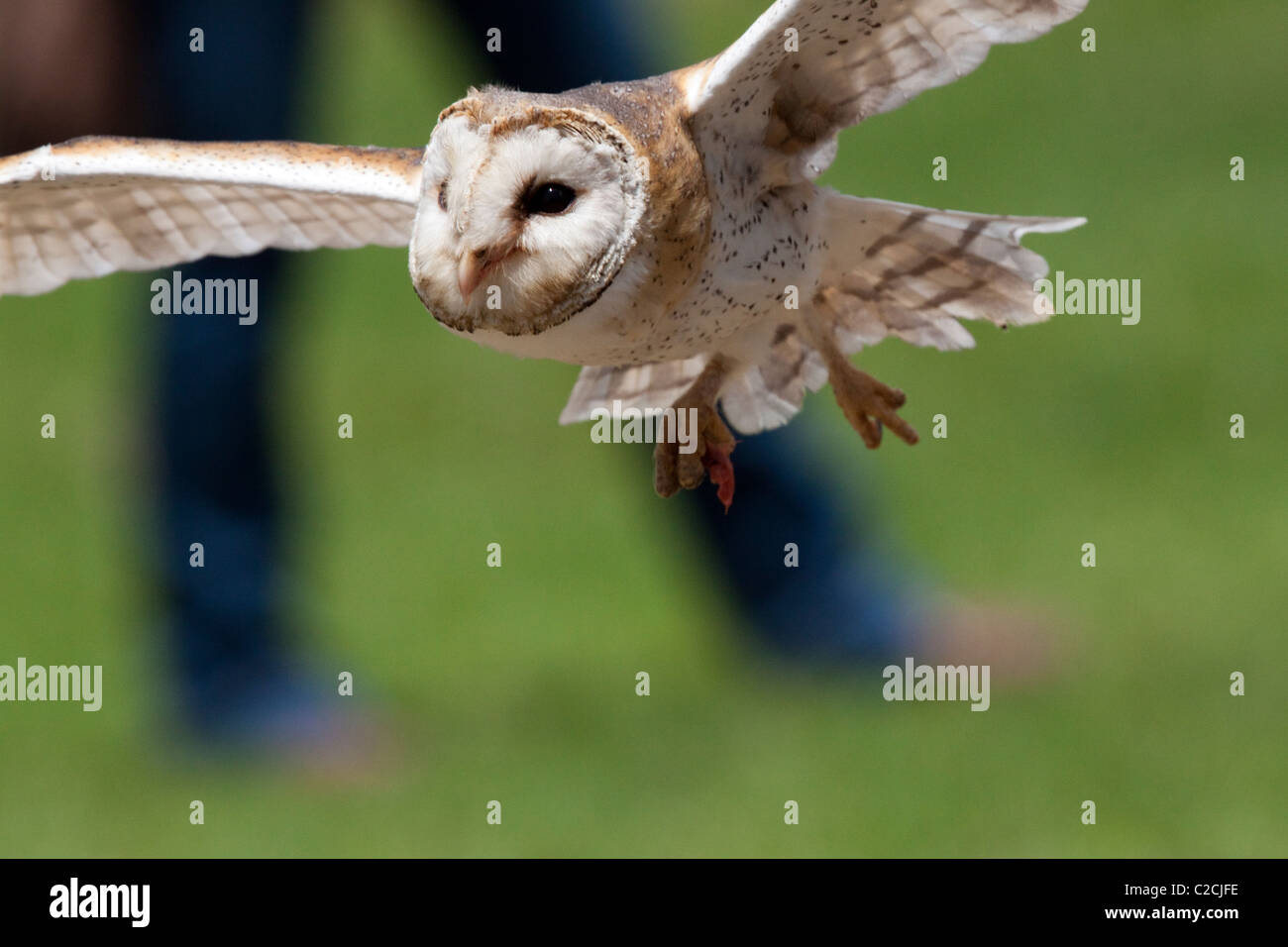 Barn owl at the African Bird of Prey Sanctuary flight show. - Stock Image