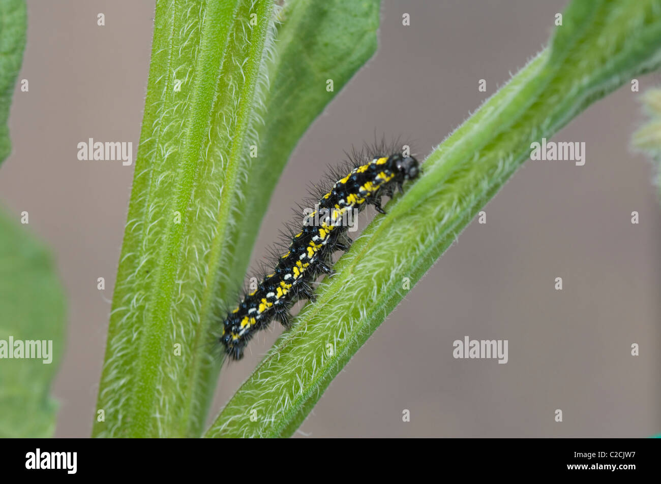 Small Tortoiseshell Caterpillar (Aglais urticae) on Comfrey leaf, France - Stock Image