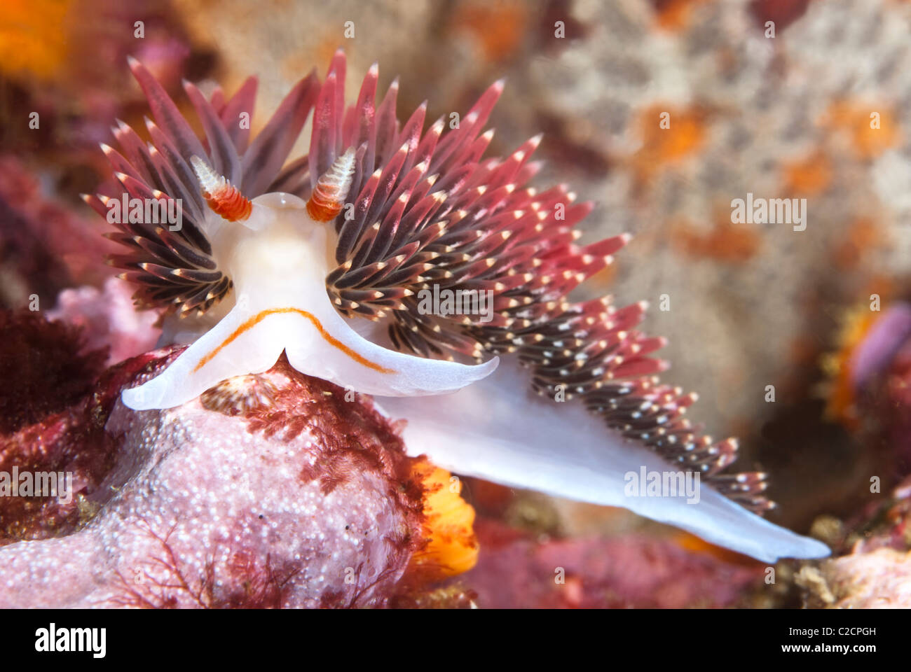 An aeolid nudibranch crawls across a rock surface on a reef in California and looks straight into the camera. Stock Photo