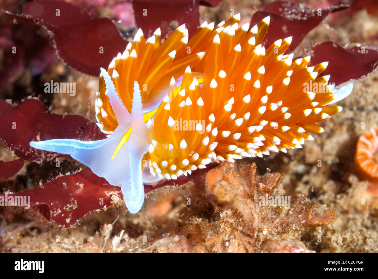 A aeolid nudibranch called hermissenda crawls across a blue rock surface on a reef in California. - Stock Image