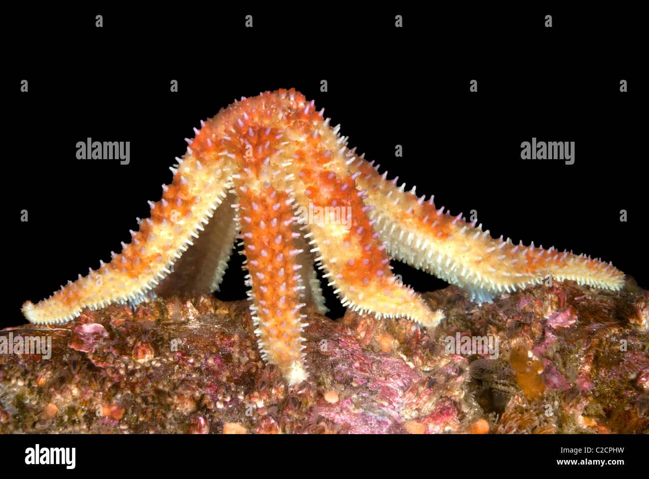 An unusual image of a feeding starfish off the coast of California. - Stock Image