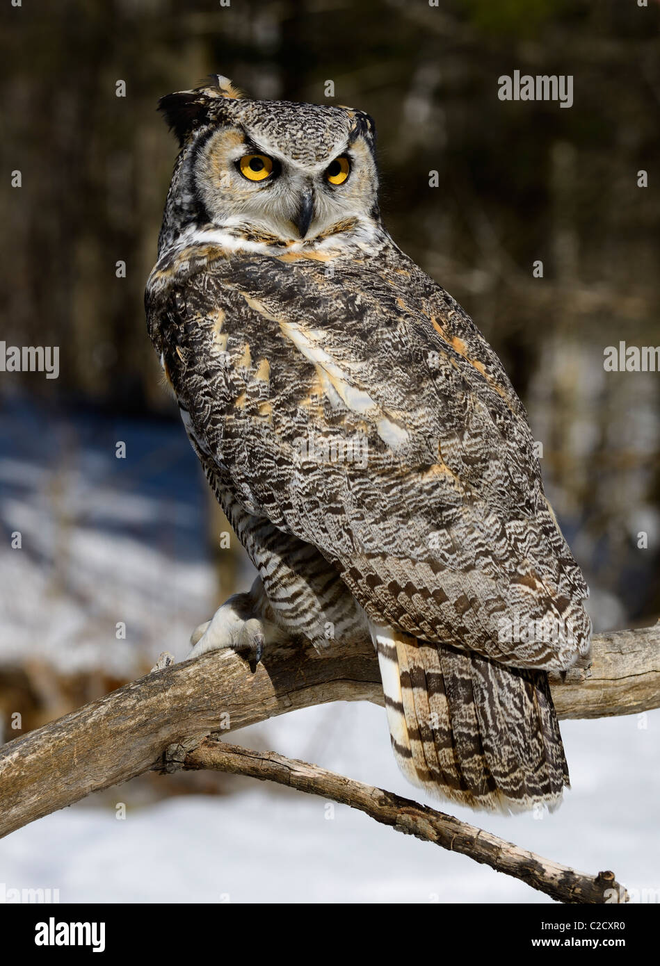 Great horned owl sitting on a dead tree branch in a snowy forest Muskoka North Ontario Stock Photo