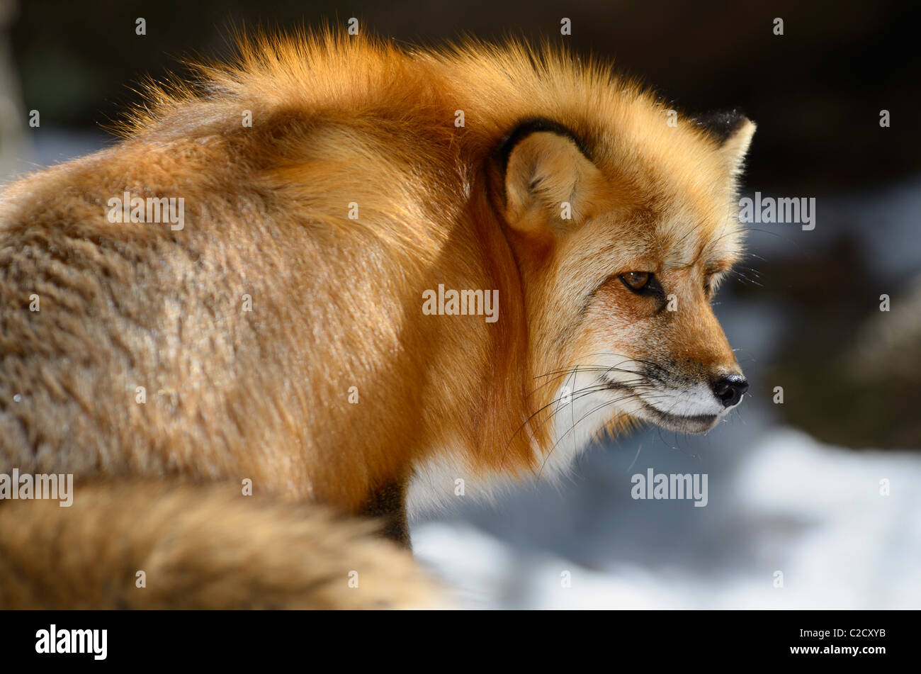 Face of a Red Fox sitting on snow warming in the sun in Spring Muskoka North Ontario - Stock Image