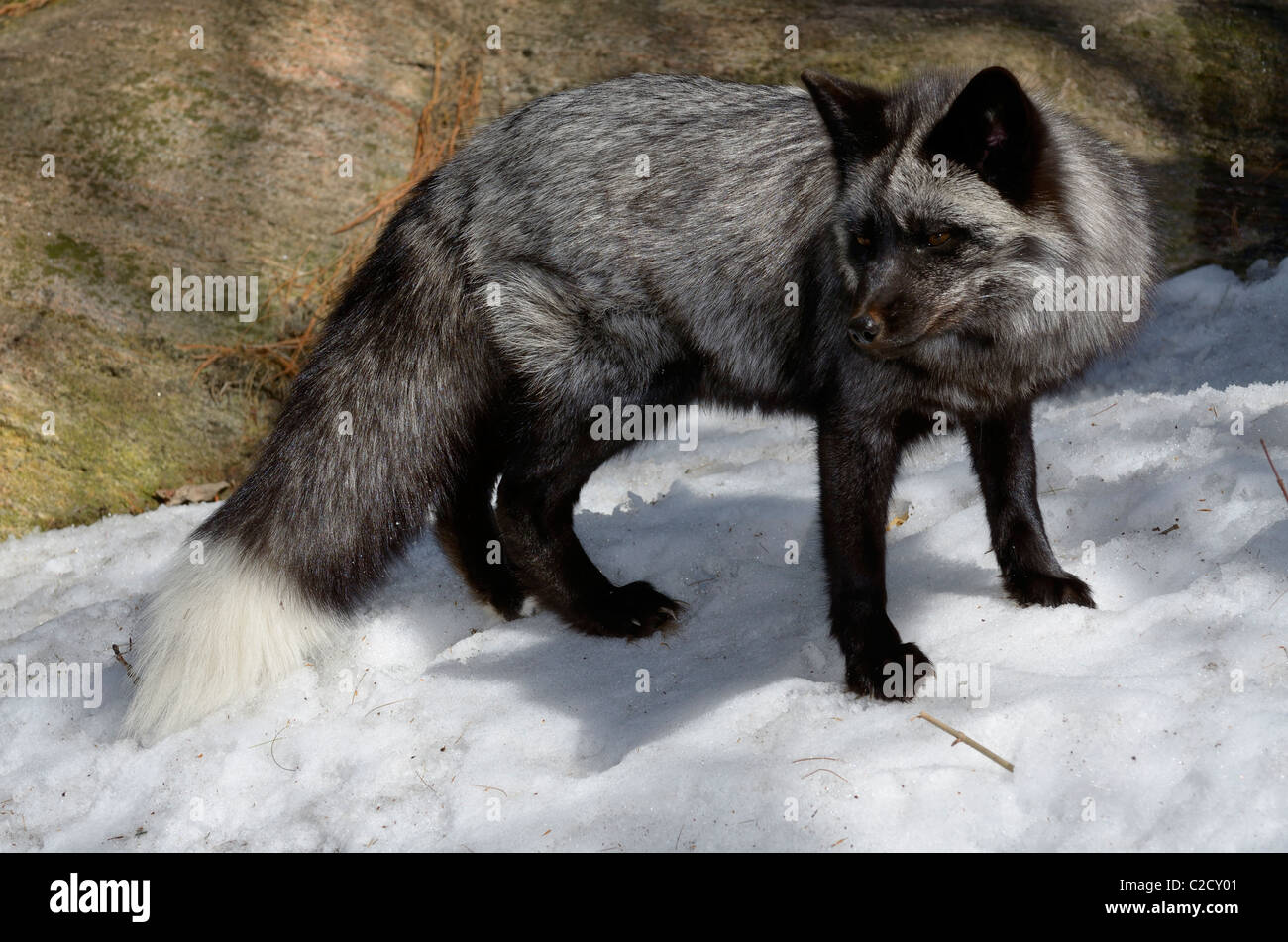 Beautiful Red Fox with black and silver fur markings in a snow covered forest in Spring Muskoka Ontario - Stock Image