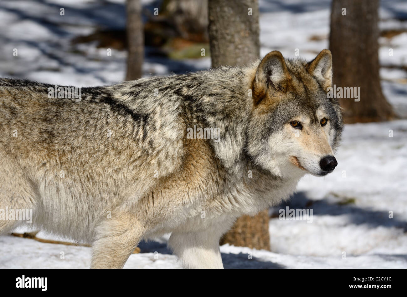Cautious pacing male Gray Wolf in a sunny North Ontario forest in spring with snow - Stock Image