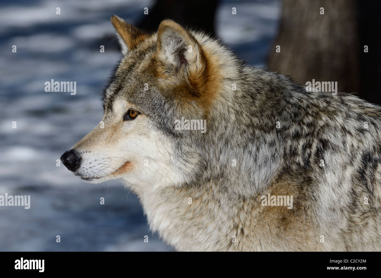 Close up profile of a male Gray Wolf or Timber wolf Canis Lupus face in a North Ontario forest with snow in spring - Stock Image