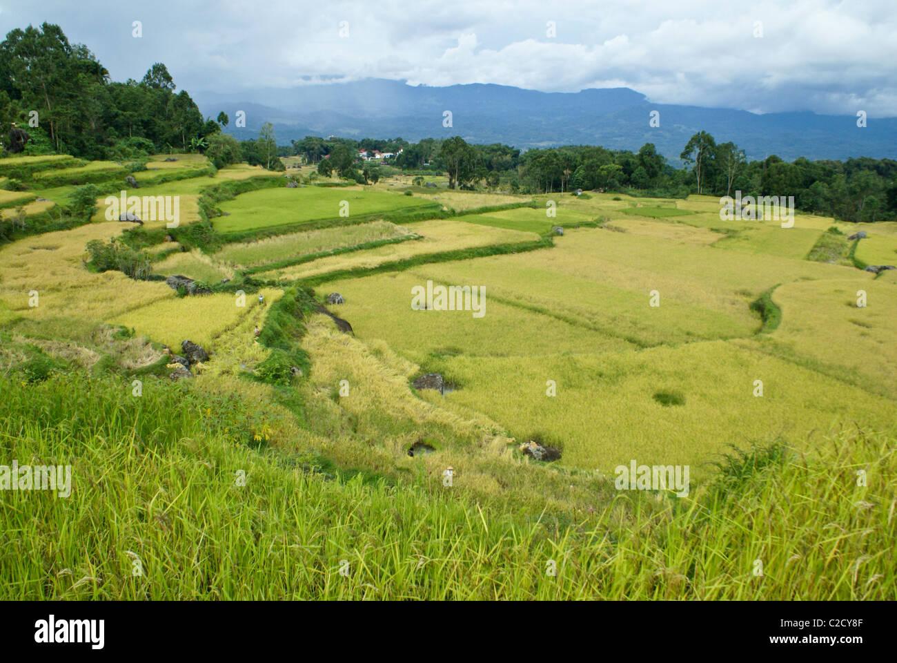 Rice terraces, Tana Toraja, South Sulawesi, Indonesia - Stock Image