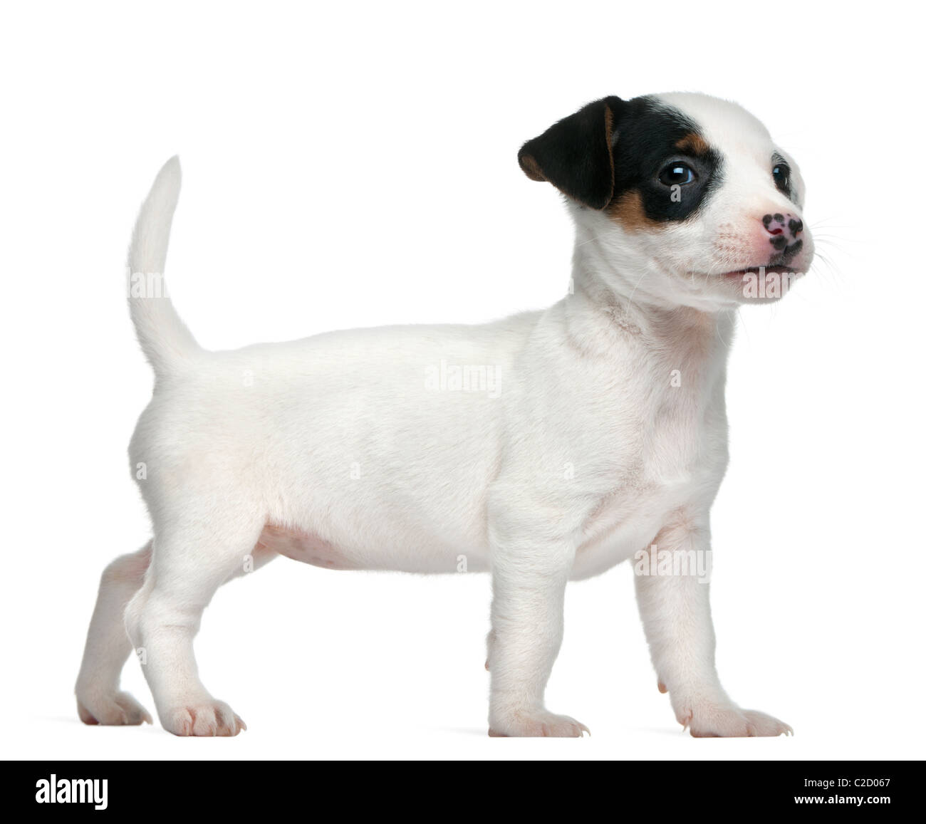 Jack Russell Terrier Puppy 7 Weeks Old Against White Background Stock Photo Alamy