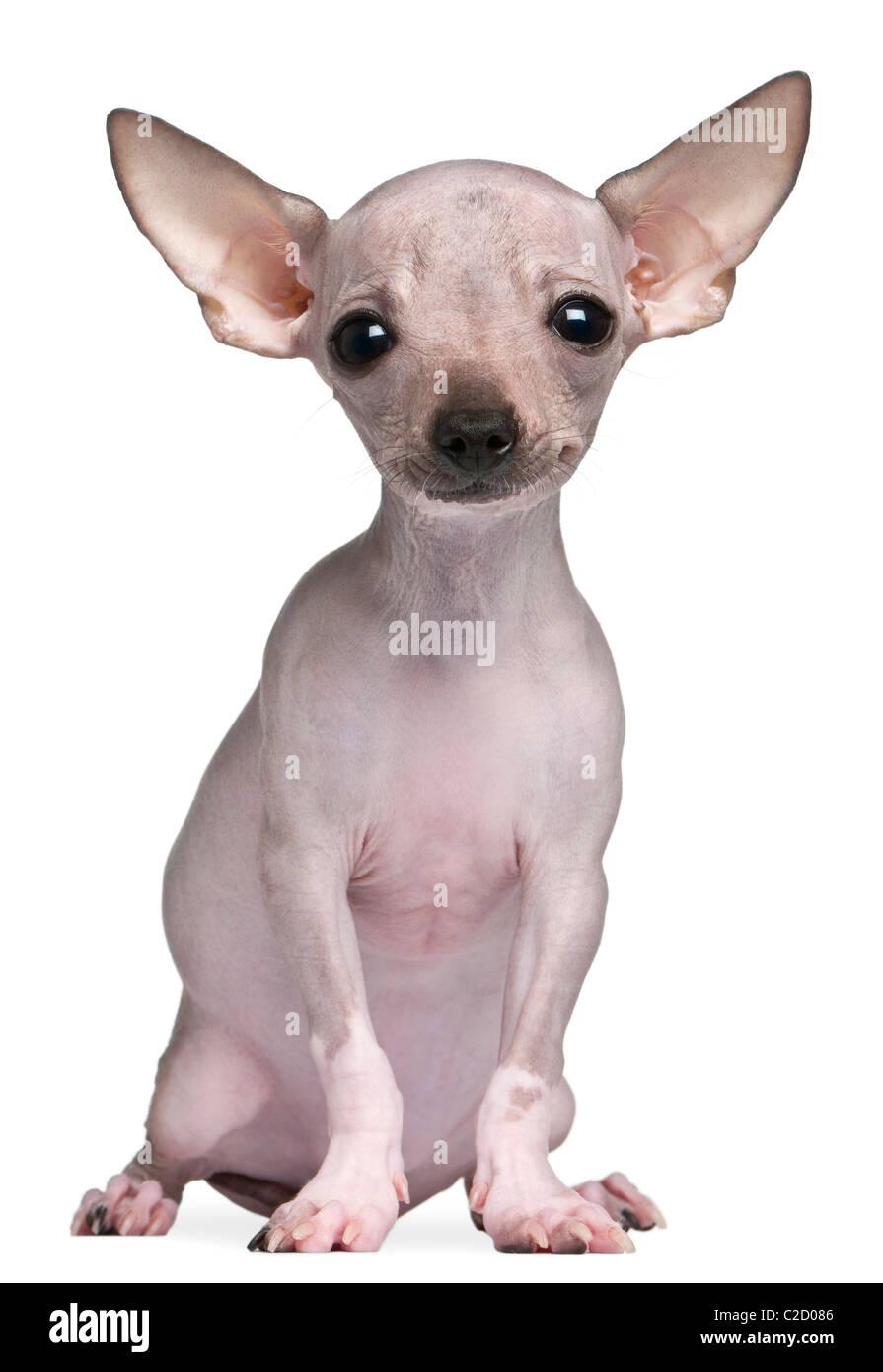 Hairless Chihuahua Stock Photos Hairless Chihuahua Stock Images