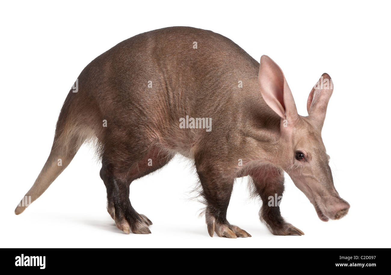 Aardvark, Orycteropus, 16 years old, in front of white background - Stock Image