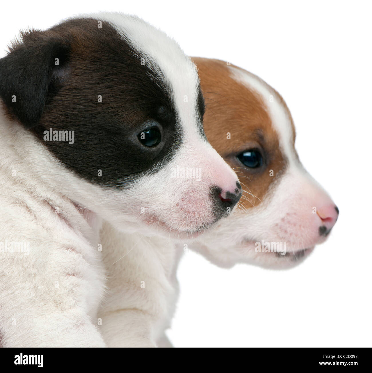 Jack Russell Terrier Puppies 5 Weeks Old Against White Background Stock Photo Alamy