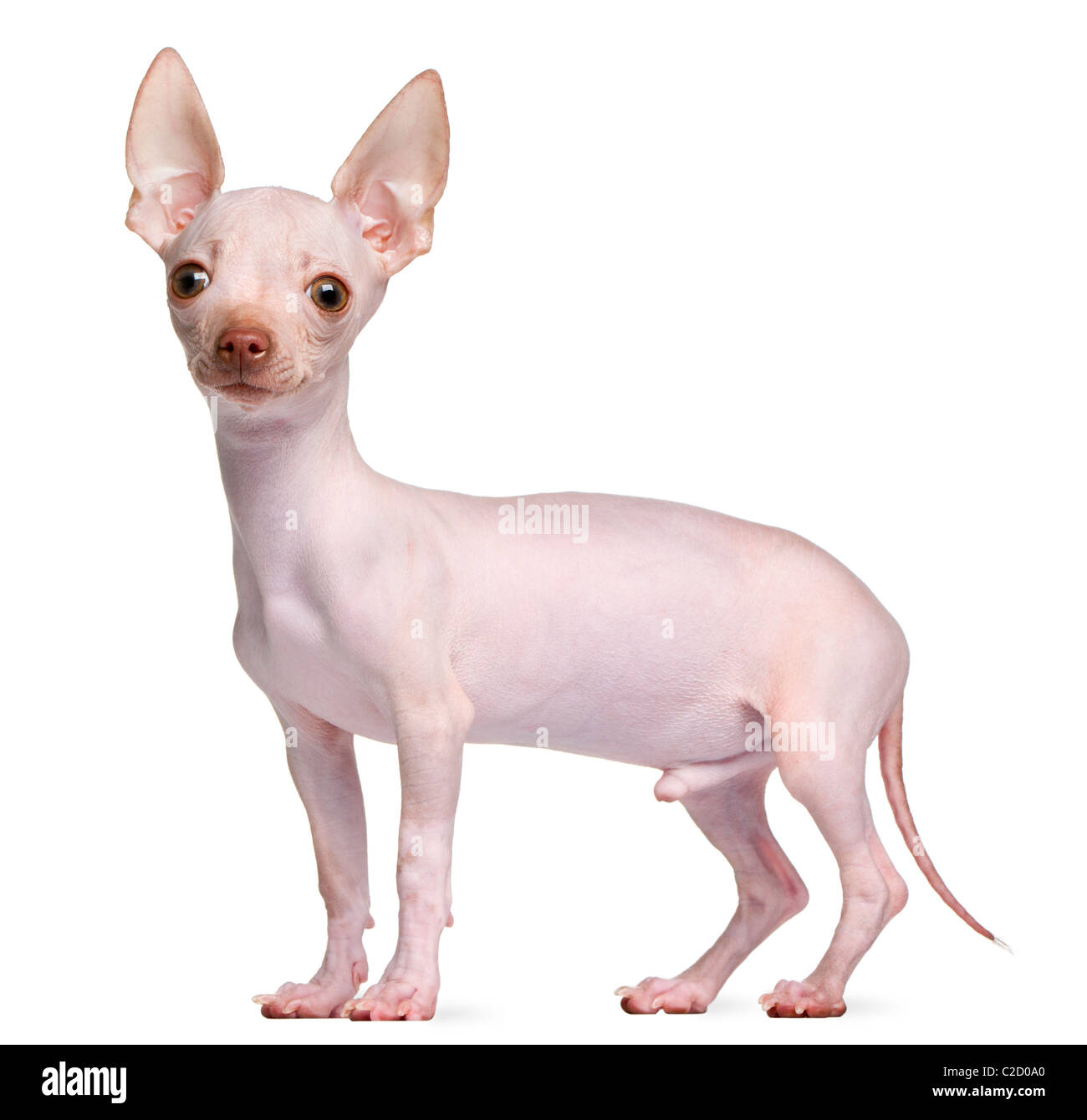 Hairless Chihuahua, 5 months old, standing in front of white background - Stock Image