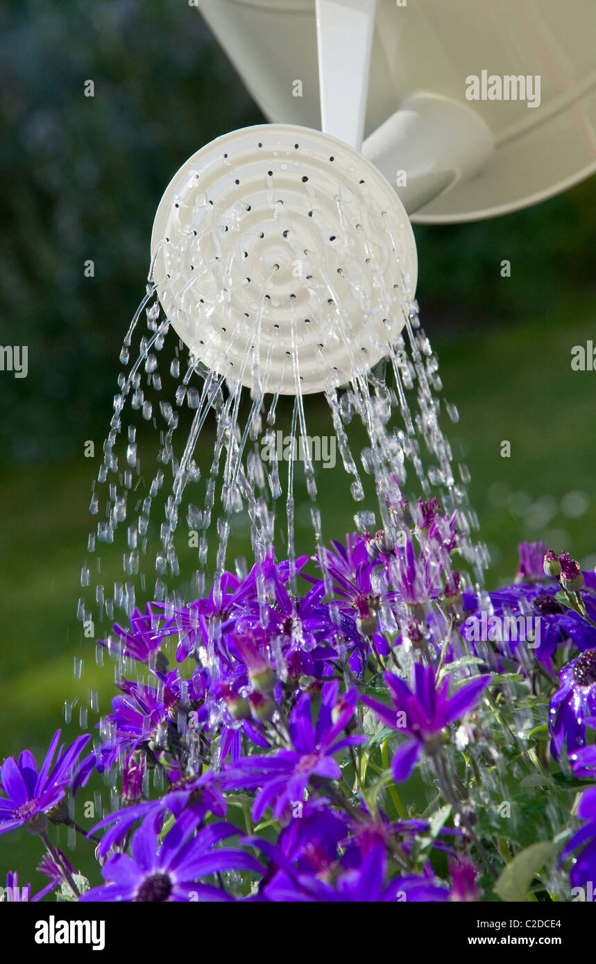 watering can with sprinkler rose and blue senetti flowers - Stock Image