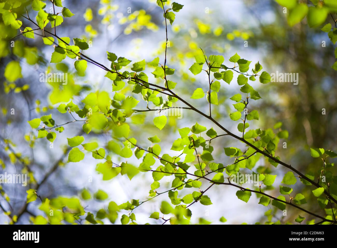 European Beech Tree Stock Photos & European Beech Tree Stock Images ...