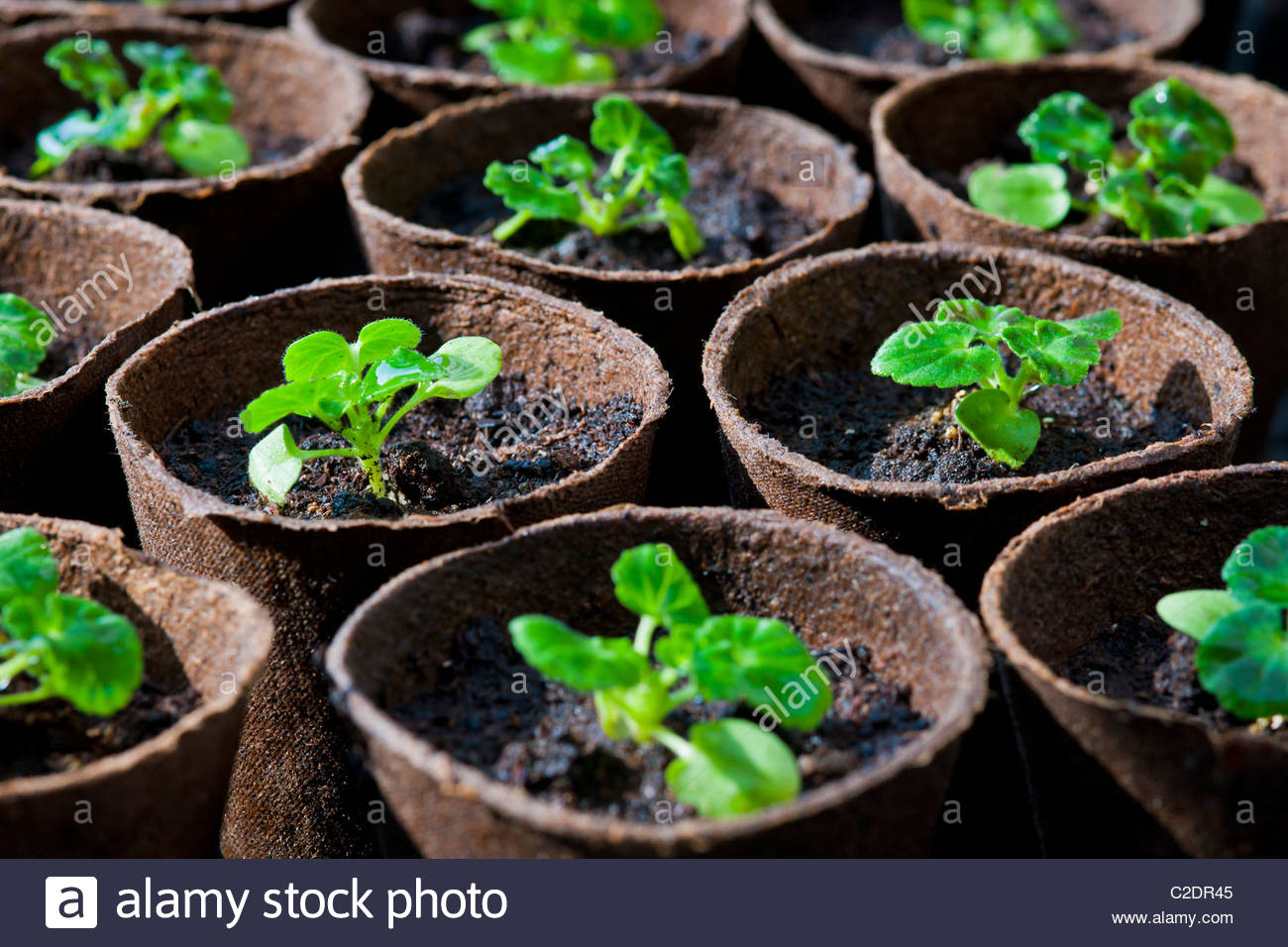 seedling pelargoniums geraniums potted on fibre bio-degradable pots small practical sustainable garden plant solution - Stock Image