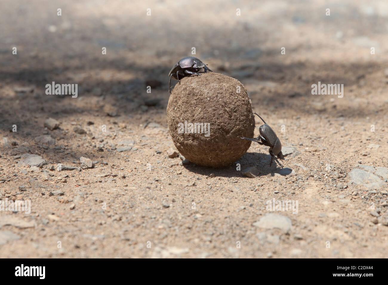 Flattened Giant Dungbeetle (Pachylomerus Femoralis) - Stock Image
