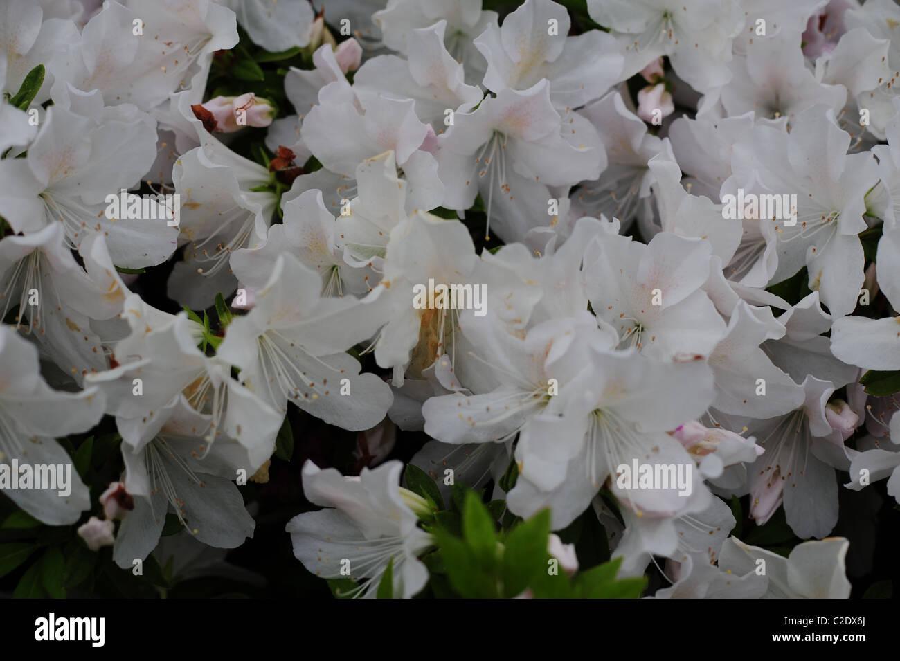White Azaleas in bloom - Stock Image