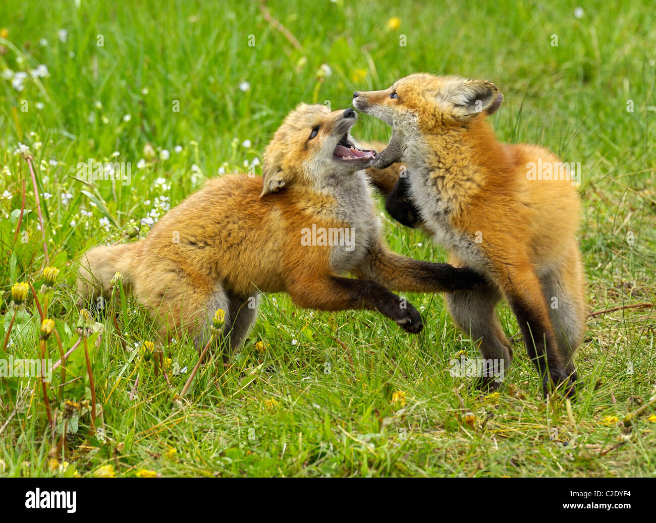 Red Fox babies at play. Stock Photo
