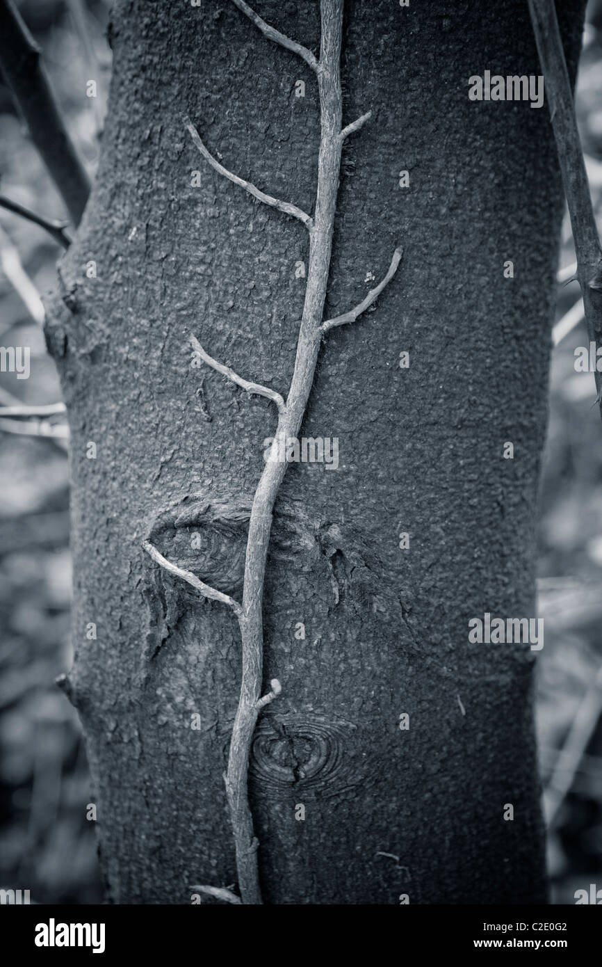 black and white image of ivy climbing up a tree trunk - Stock Image