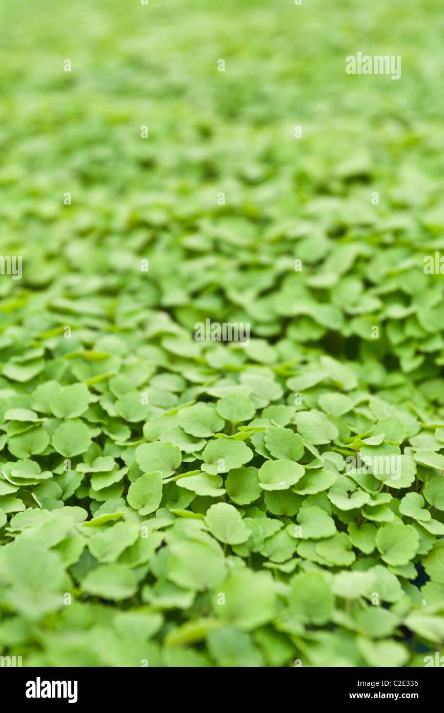 Atsina Cress growing in a greenhouse - Stock Image