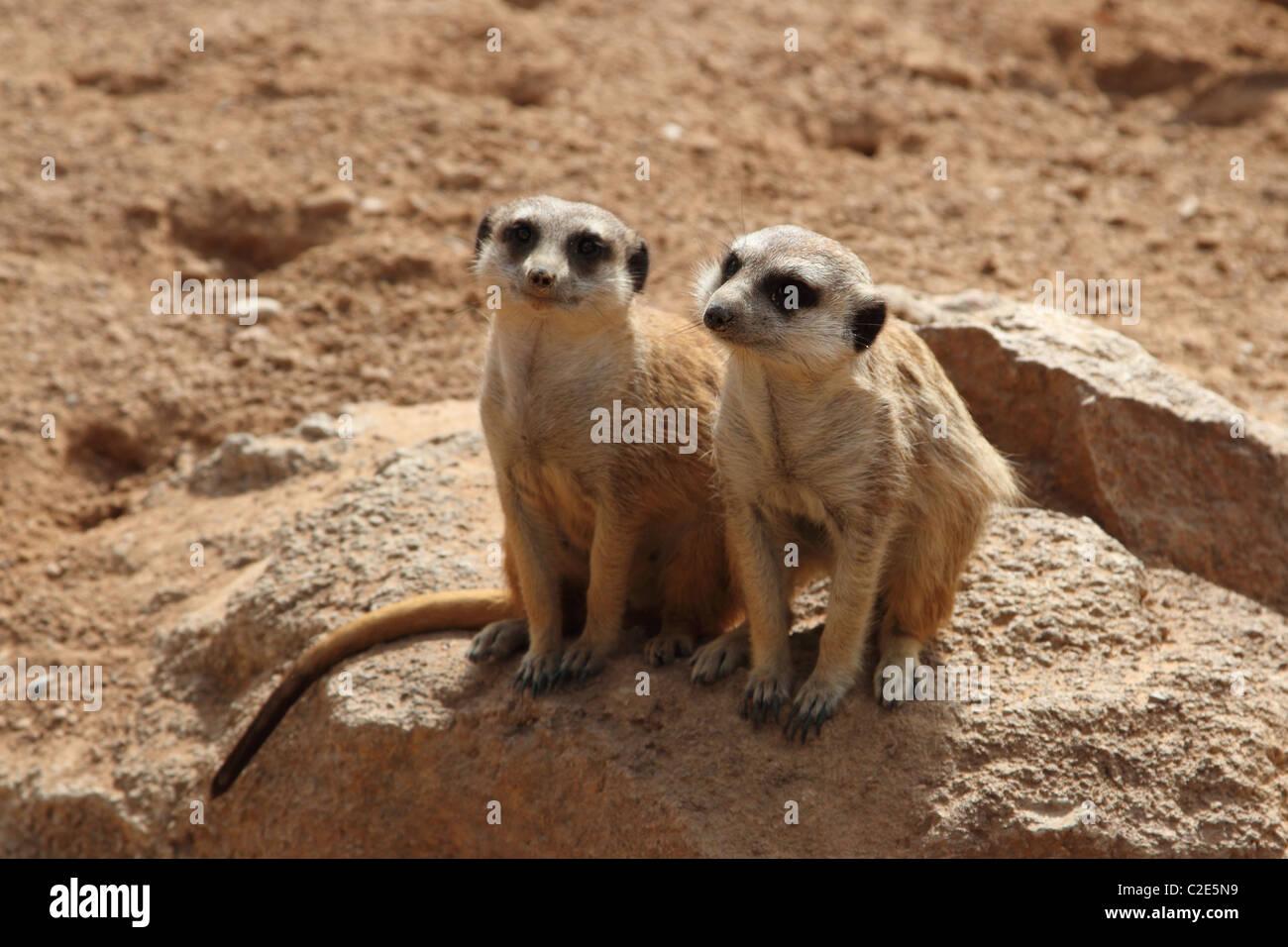 Meerkats - Stock Image
