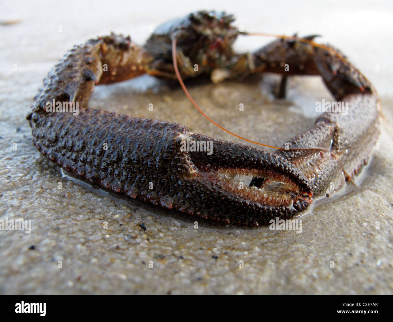 Spiny Squat Lobster (Galathea strigosa) - Stock Image