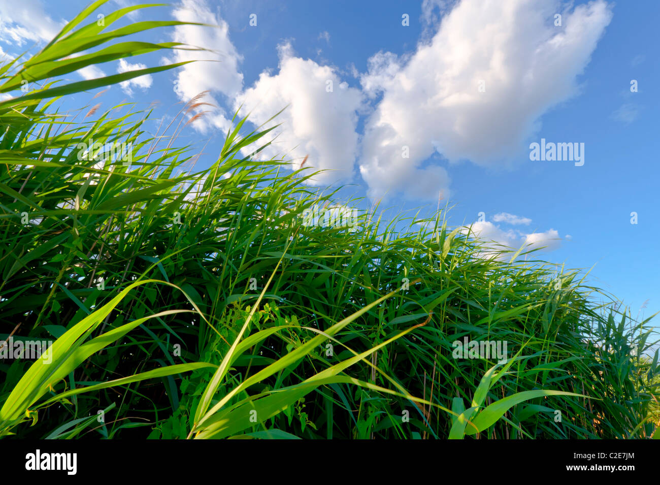 Marshland grass marsh reeds blowing in wind, closeup on beautiful summer day with blue sky, white clouds, Levy Park, - Stock Image
