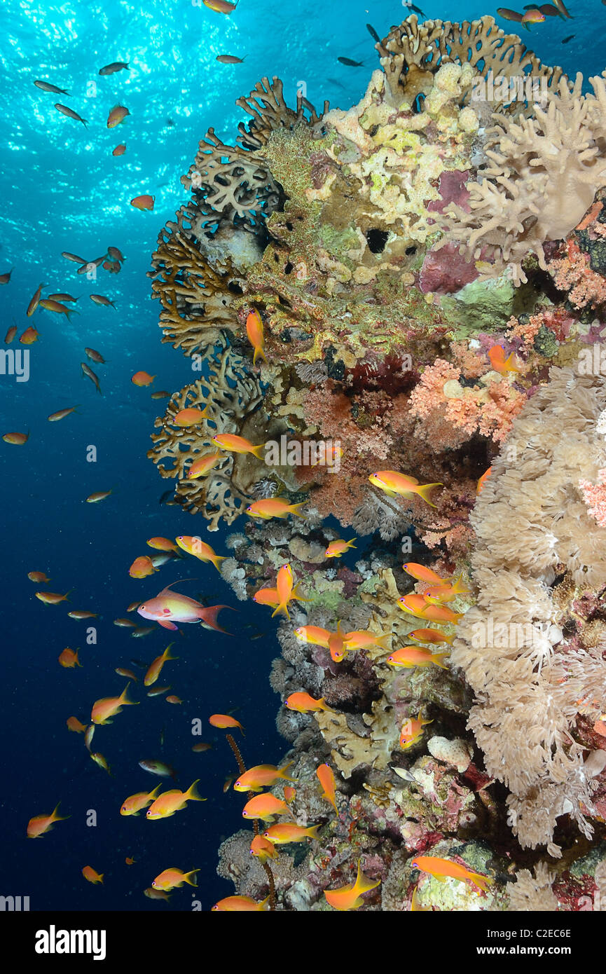 Colony of fire coral growing on Saint John Reefs, Egypt, Red Sea - Stock Image