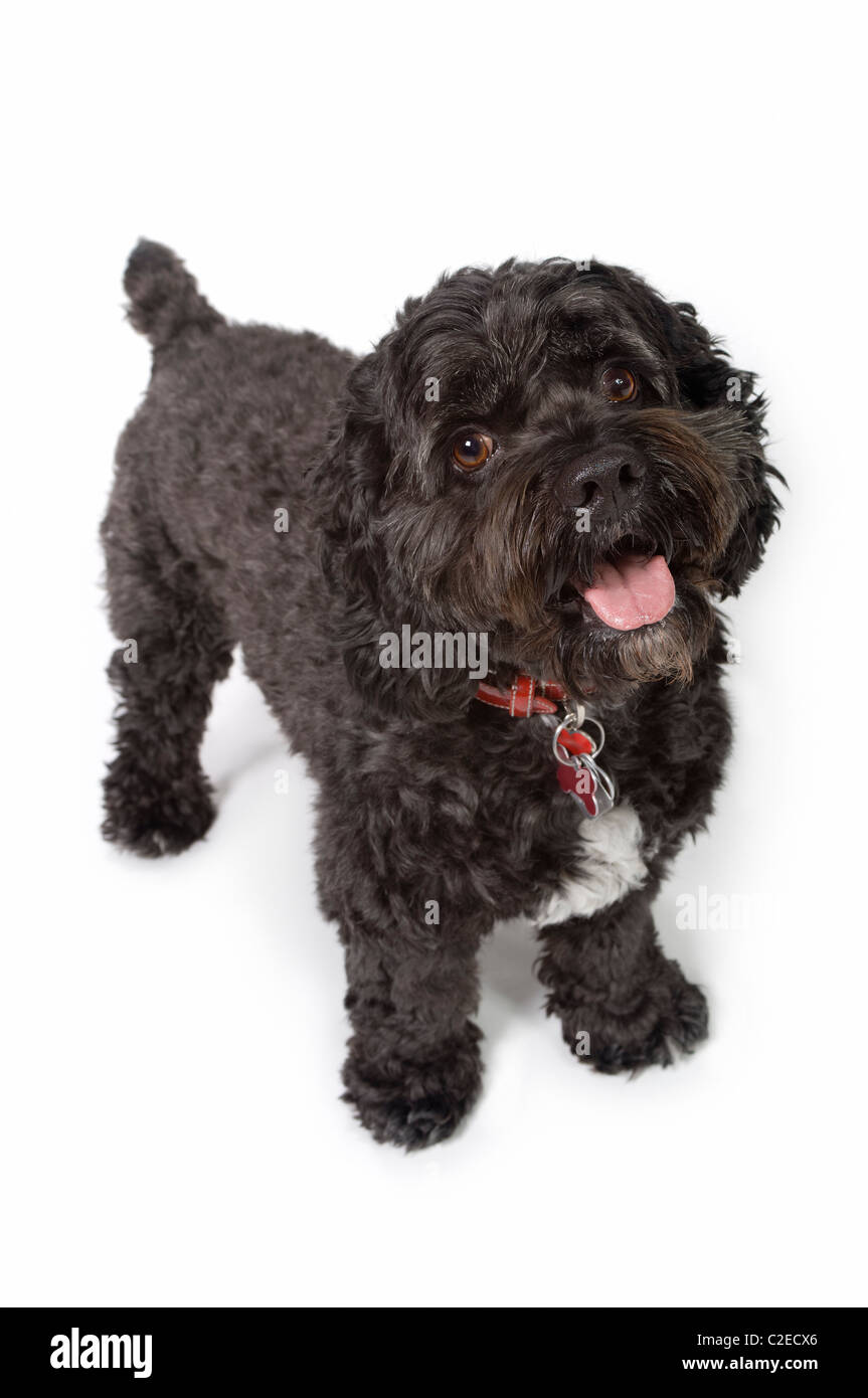 Black Bichon-Cocker Spaniel Dog Stock Photo: 35967518 - Alamy