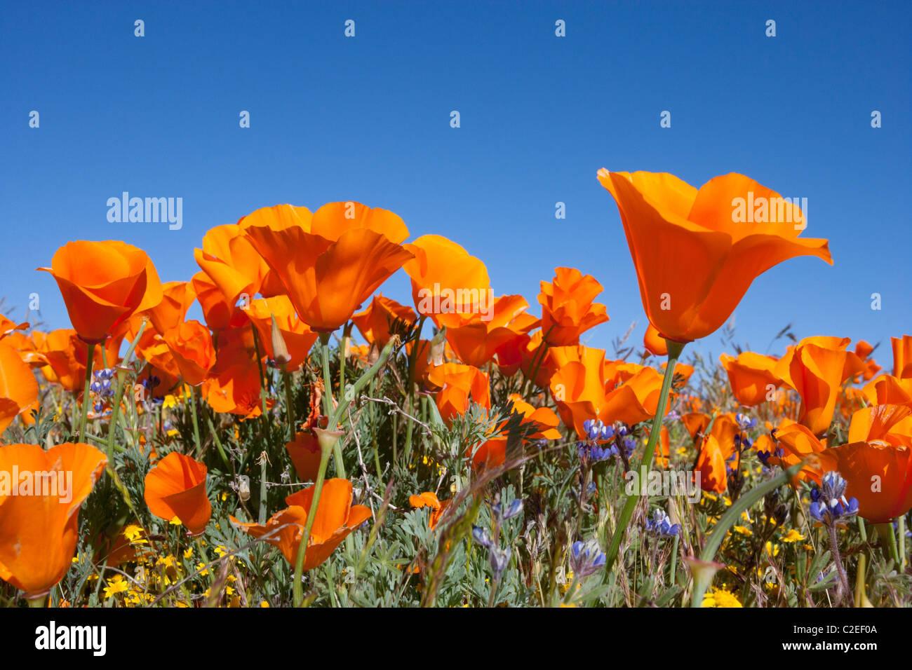 California Poppies - Stock Image