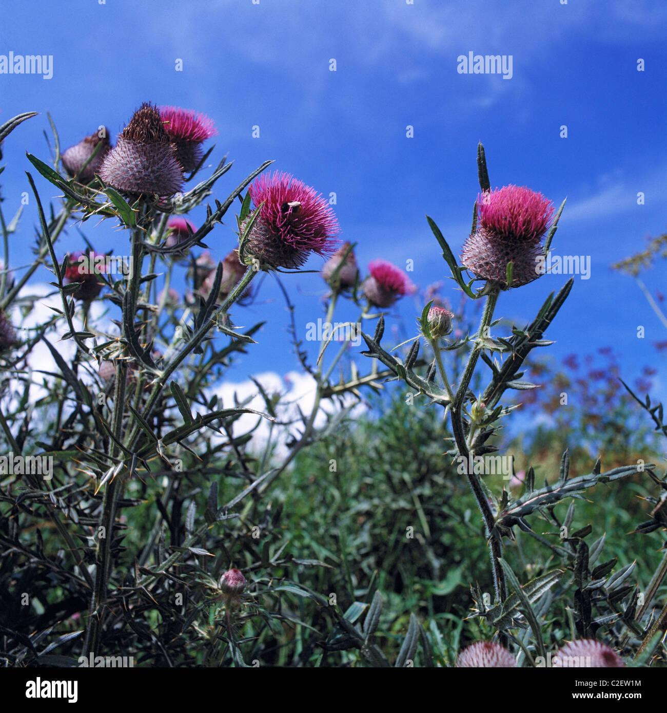 Natur, Pflanzenwelt, Strauch, bluehende Disteln Stock Photo