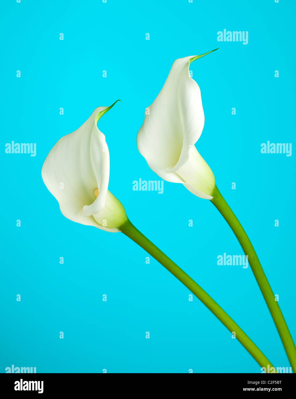 White Calla Lily Flowers Stock Photos White Calla Lily Flowers