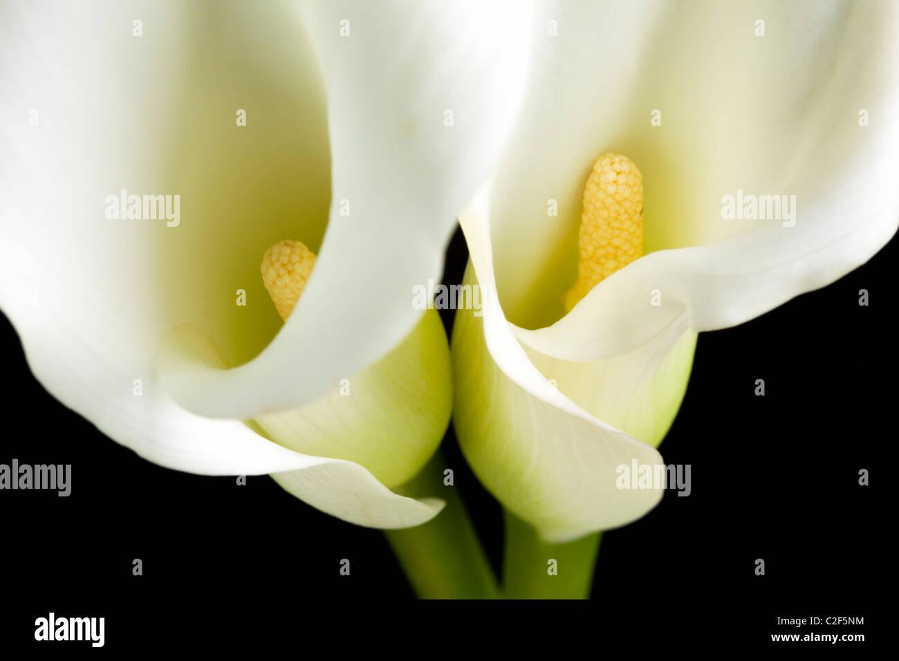 Closeup Of Two White Calla Lily Blossoms Black Background Stock