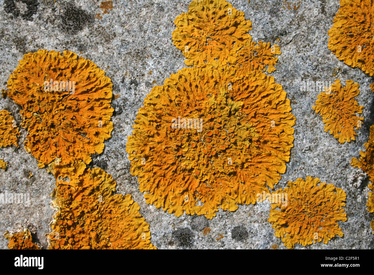 Yellow Orange Rosette Of The Maritime Lichen Caloplaca thallincola On Rocks At Conwy RSPB Reserve, Wales - Stock Image
