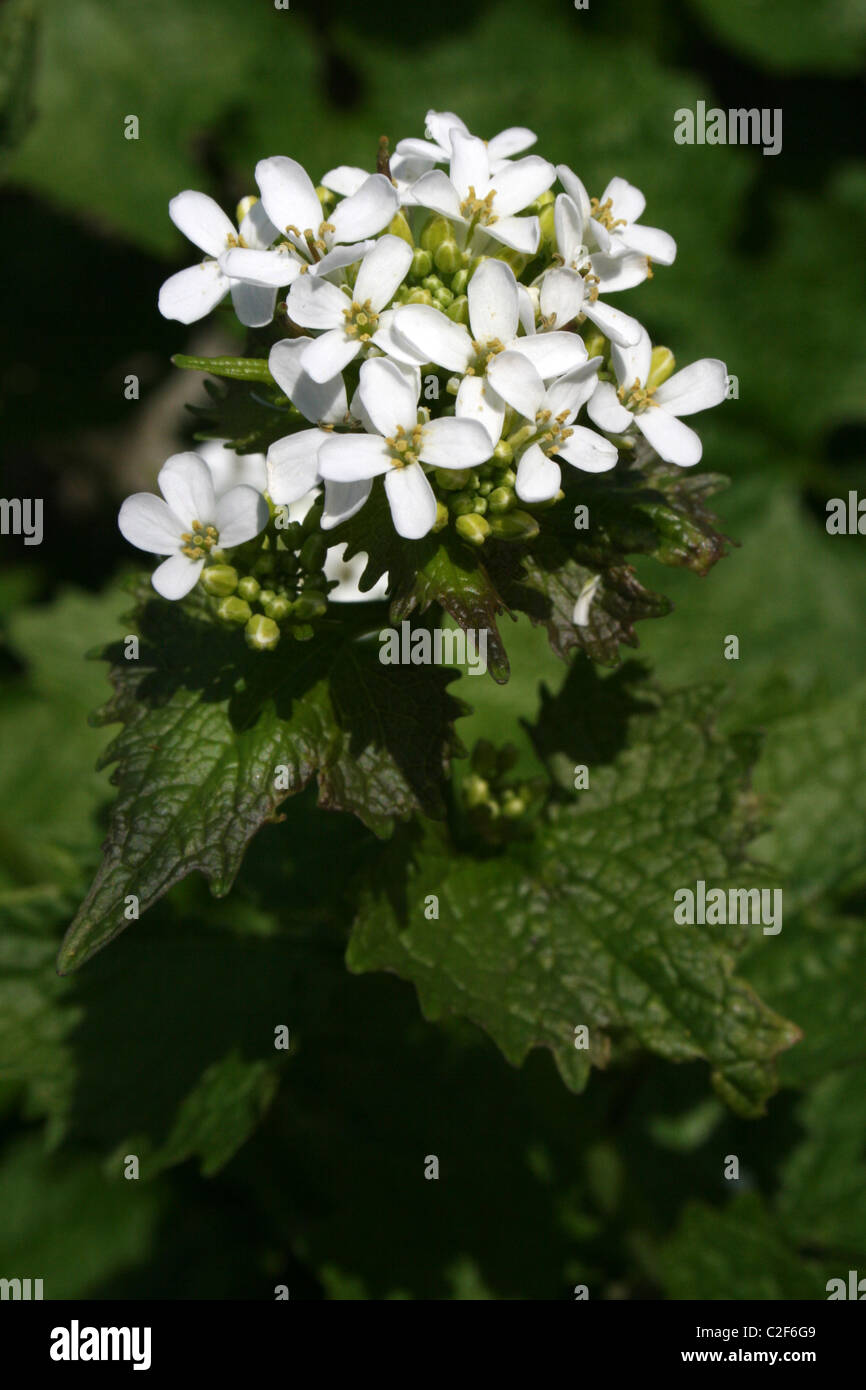 Garlic Mustard (a.k.a. Jack-by-the-Hedge) Alliaria petiolata Taken at The Spinnies Nature Reserve, Wales Stock Photo