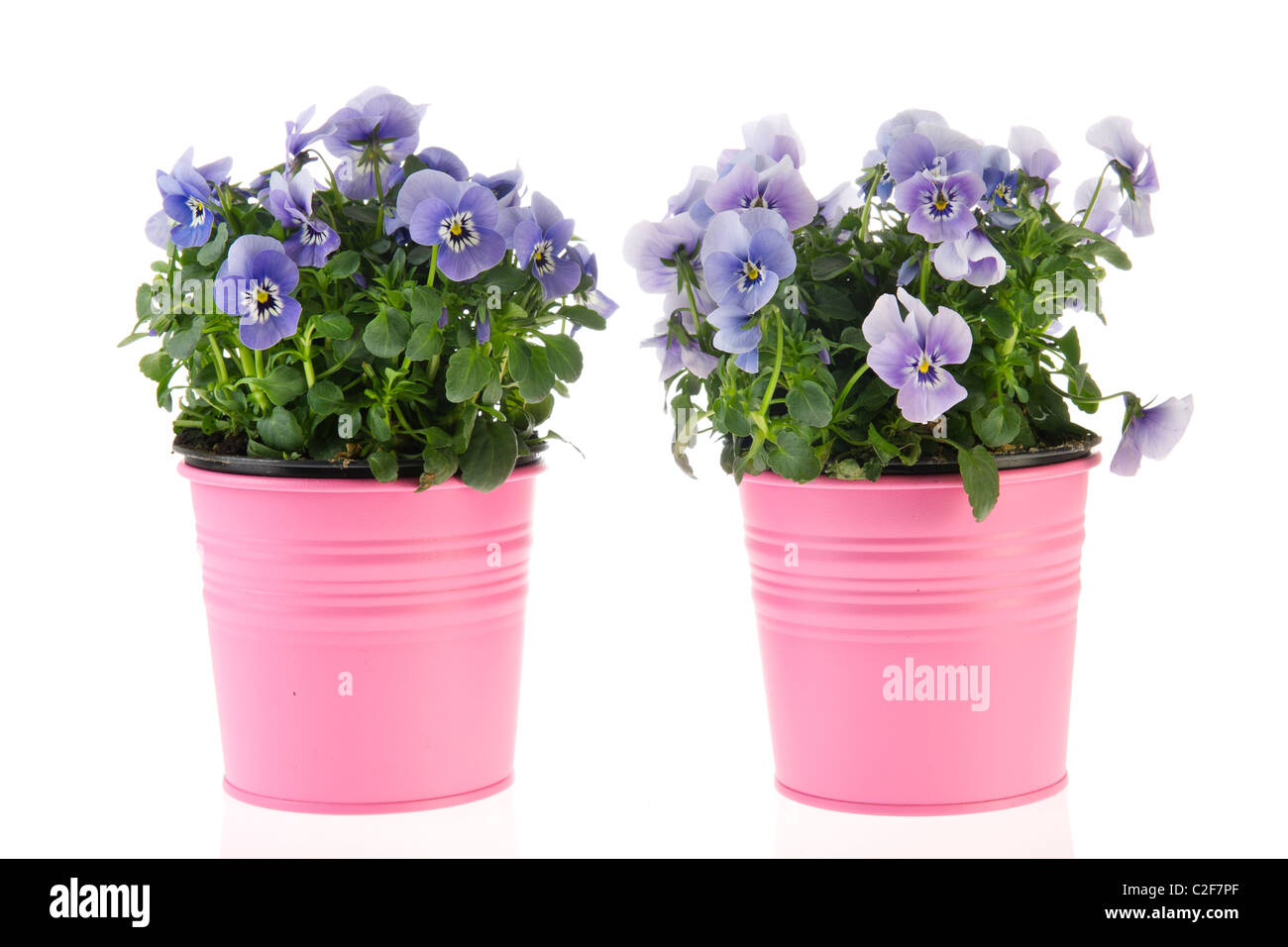 Blue Violets In Pink Flower Pots Isolated Over White Stock Photo