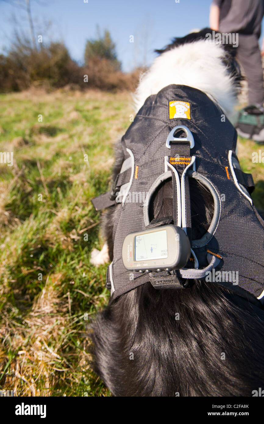A Border Collie wearing a GPS as part of a research study to see how far dogs roam when they are let of the lead - Stock Image