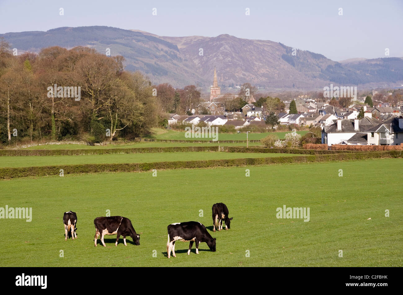 Pastoral country scene with Holstein Friesian herd of dairy cows cattle grazing in a field on outskirts of town. - Stock Image
