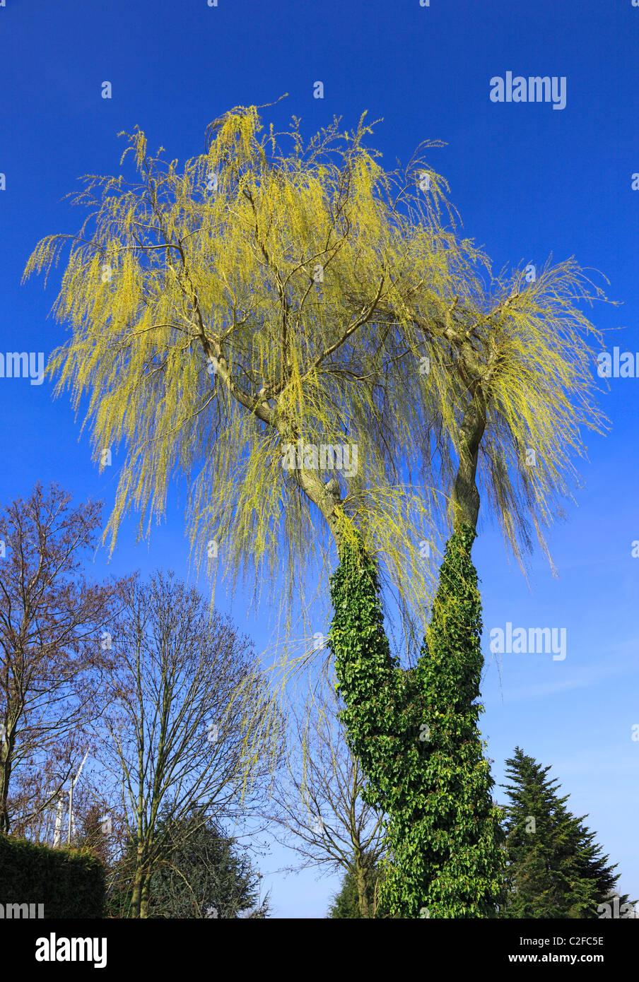 Natur, Jahreszeiten, Fruehling, Trauerweide, Baumstaemme mit Efeu bewachsen, Rees, Niederrhein, Nordrhein-Westfalen Stock Photo