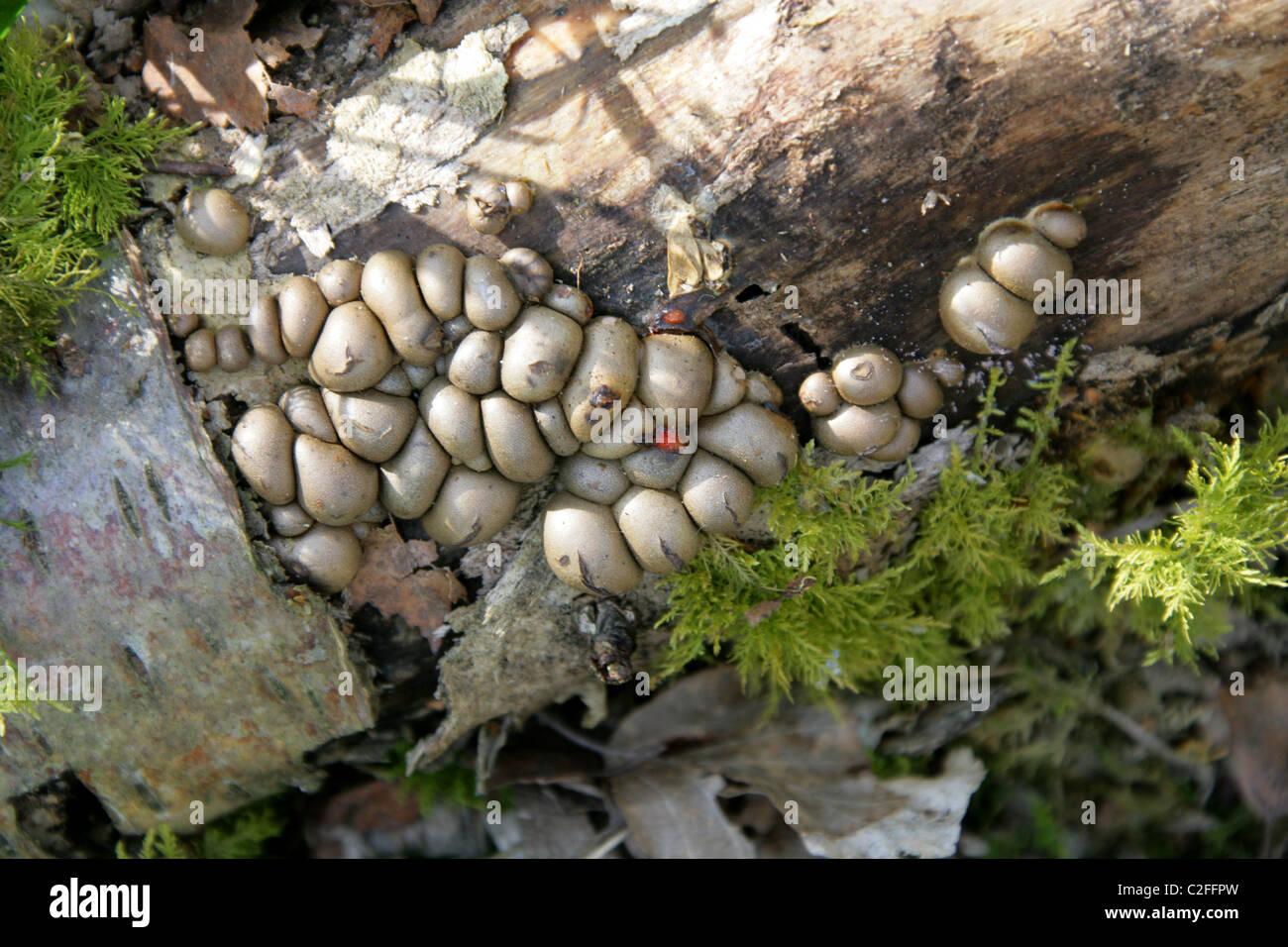 Birch Tree Fungi. - Stock Image