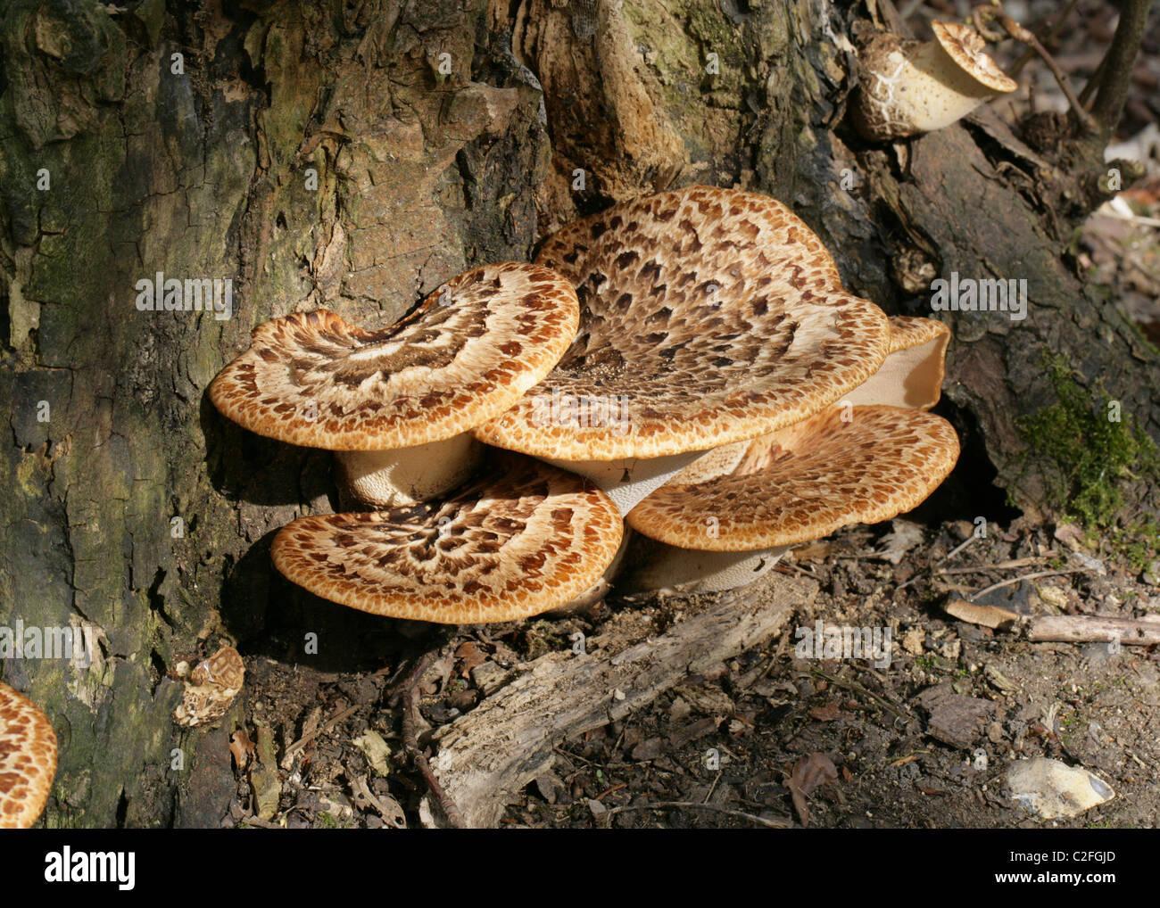 Dryad's Saddle or Scaly Polypore, Polyporus squamosus, Polyporaceae. Bracket Fungus. Fruiting Bodies. - Stock Image