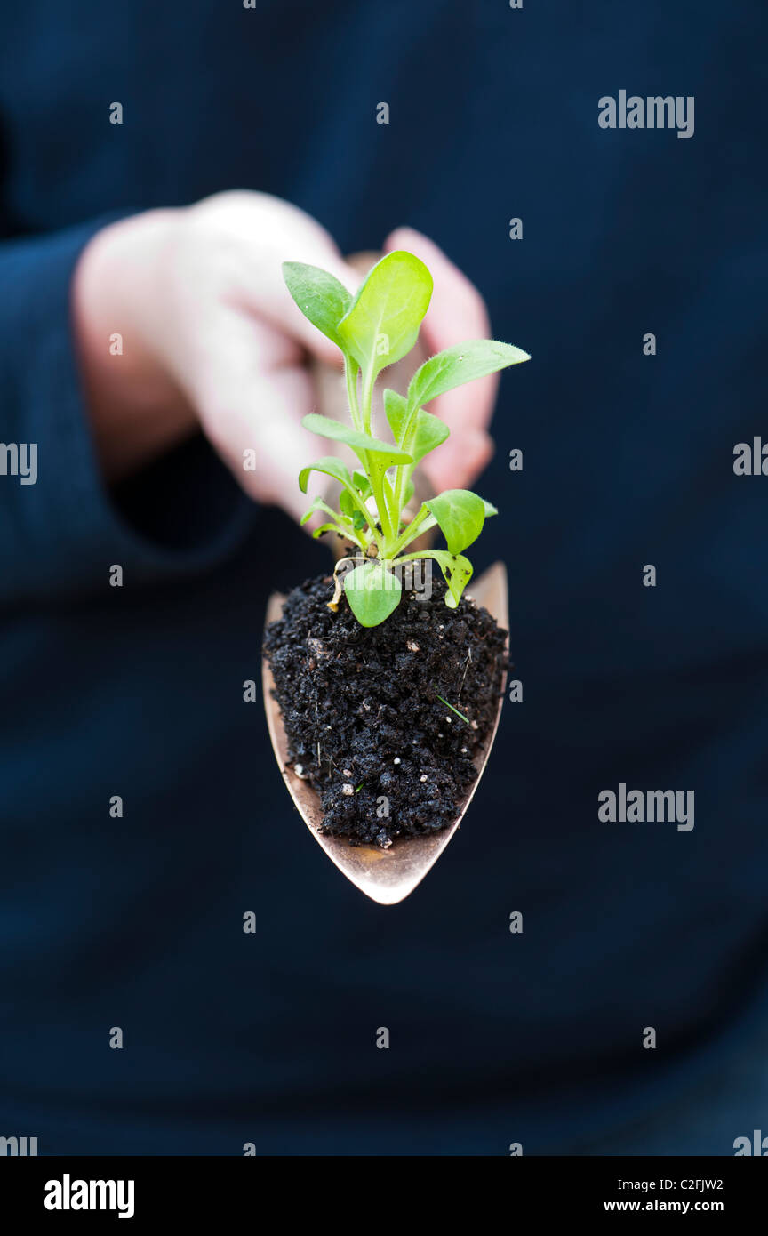 Gardeners hand holding a flower seeding in soil on a copper hand trowel - Stock Image