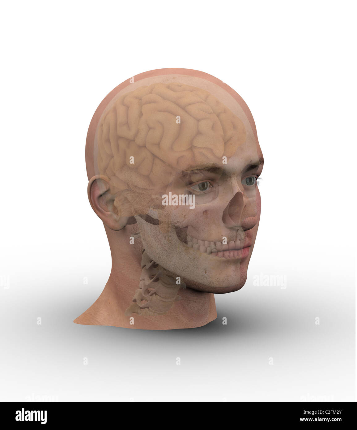 Male head with skull and brain showing through transparent skin. - Stock Image