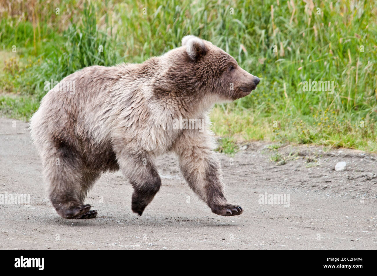 Grizzly Bear Cub Running, Ursus arctos horriblis, Brooks River, Katmai National Park, Alaska, USA - Stock Image