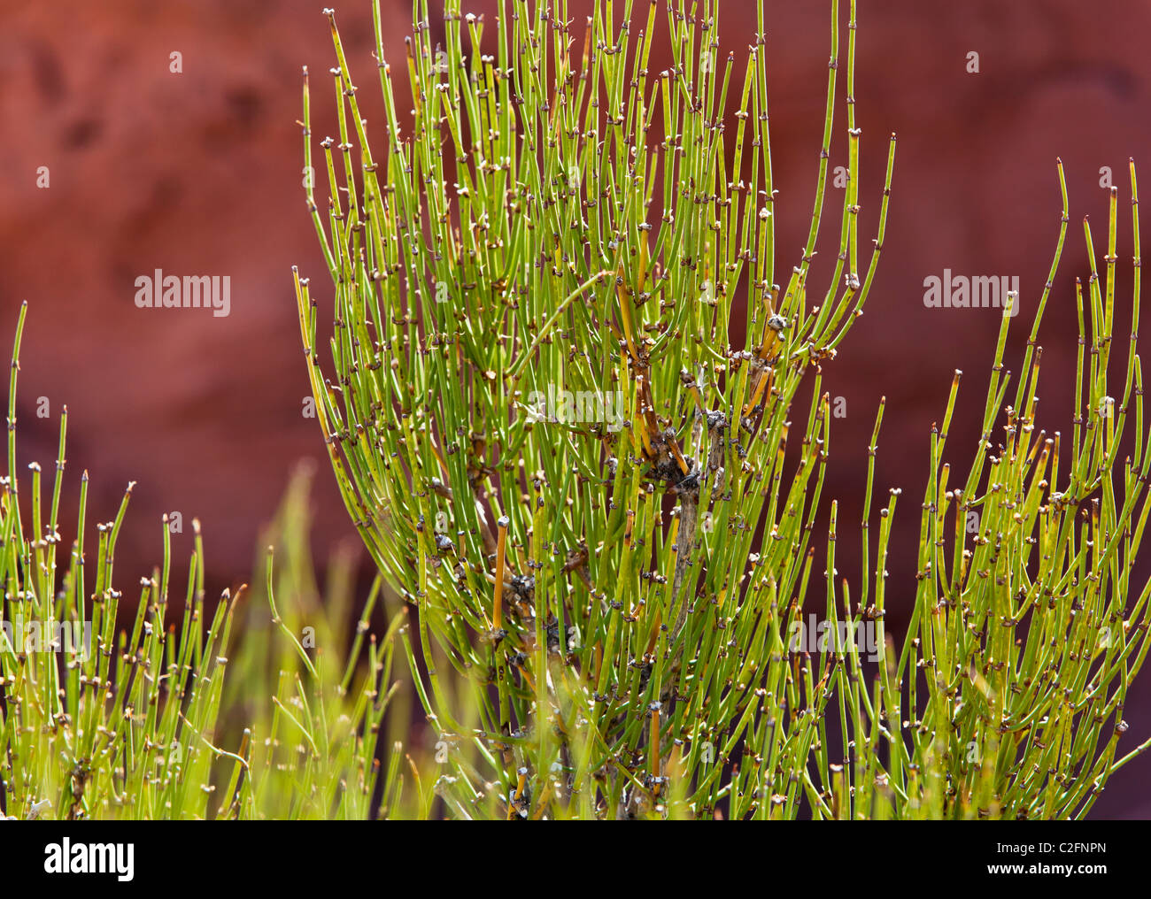 A closeup view of Mormon Tea plant in Canyonlands national