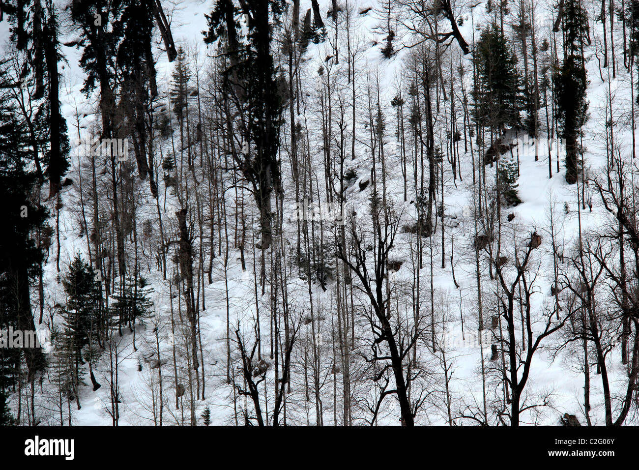 A snow covered pine forest in manali, India - Stock Image