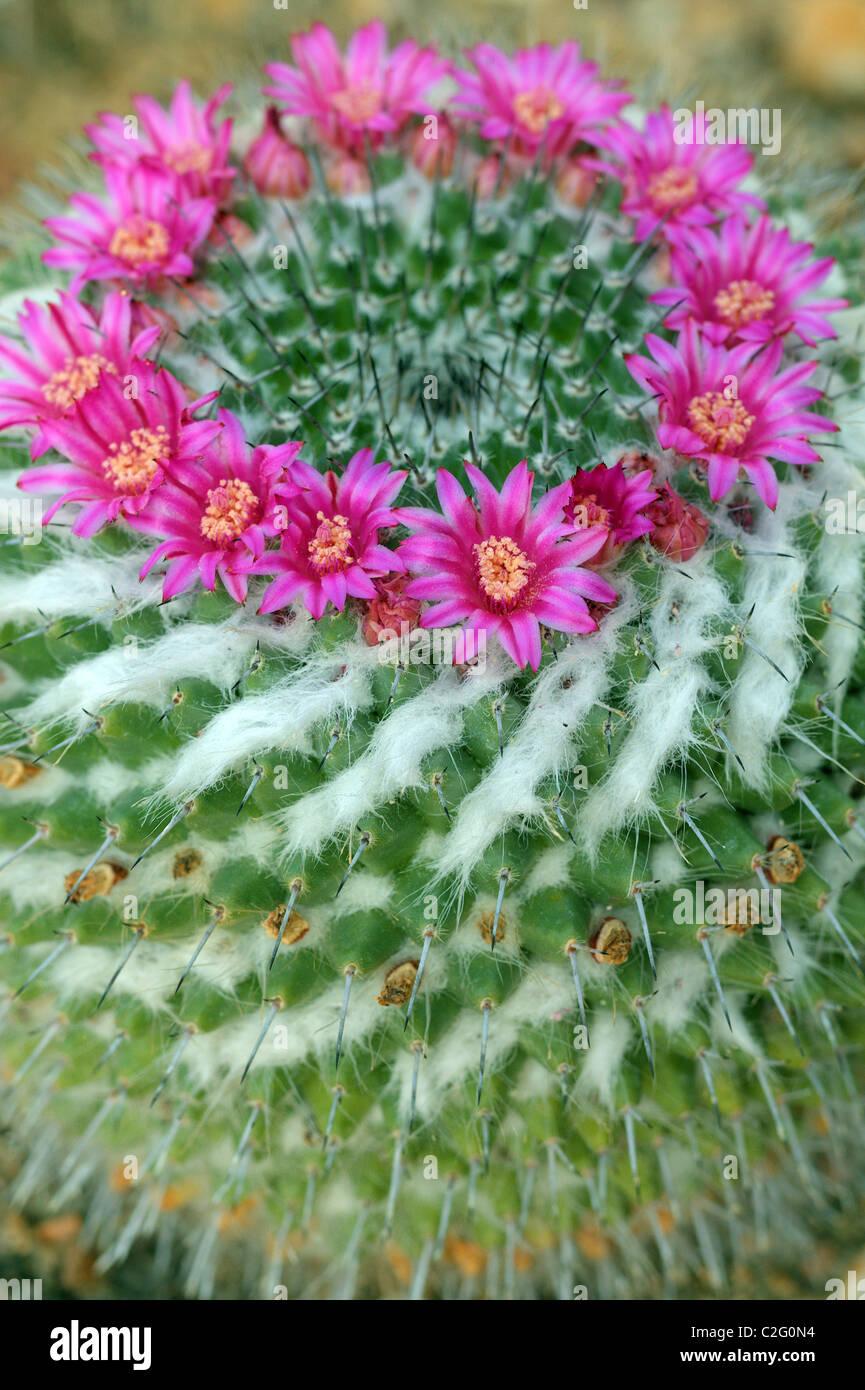Cactus Mamillaria mammillaria sempervivi flowers close up - Stock Image