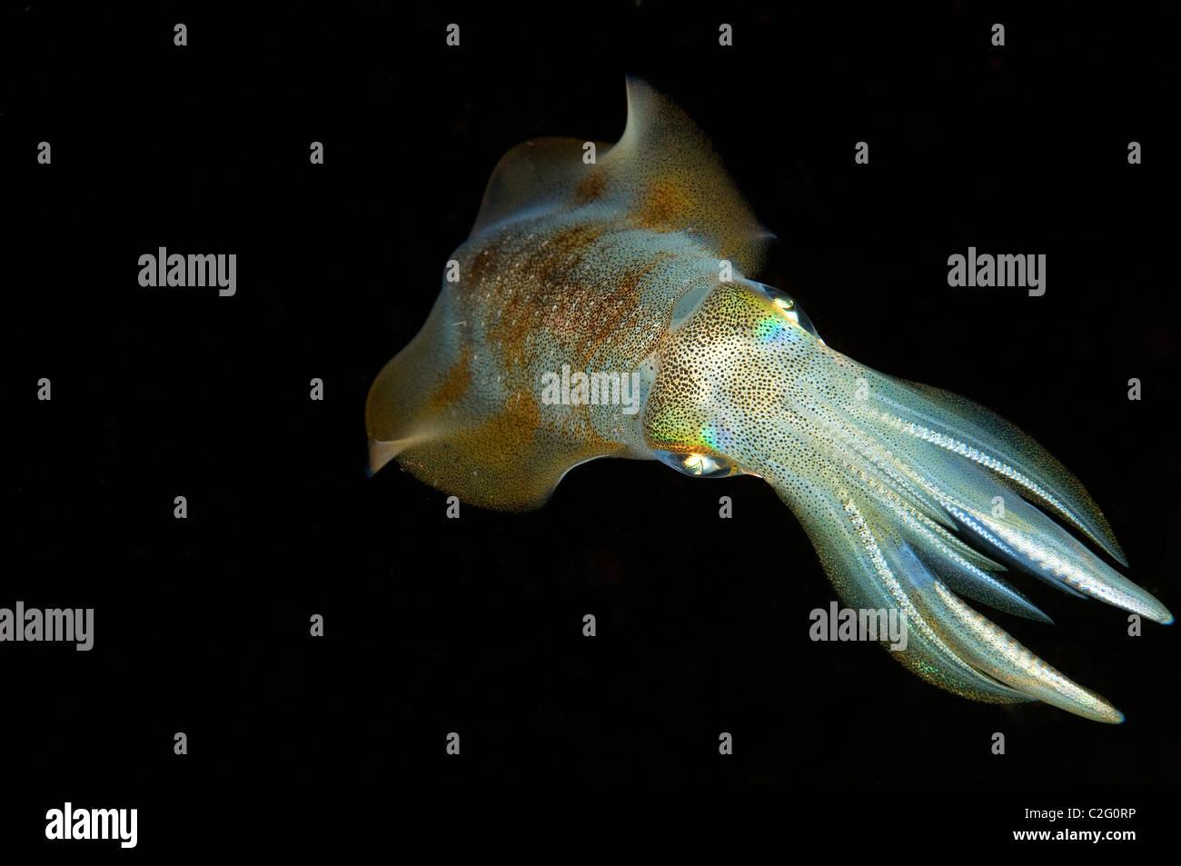 Bigfin reef squid, Sepioteuthis lessoniana, Sulawesi Indonesia. - Stock Image