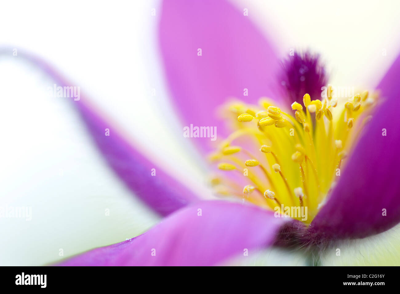 A single purple flower head of Pulsatilla vulgaris - Pasque flower - Stock Image