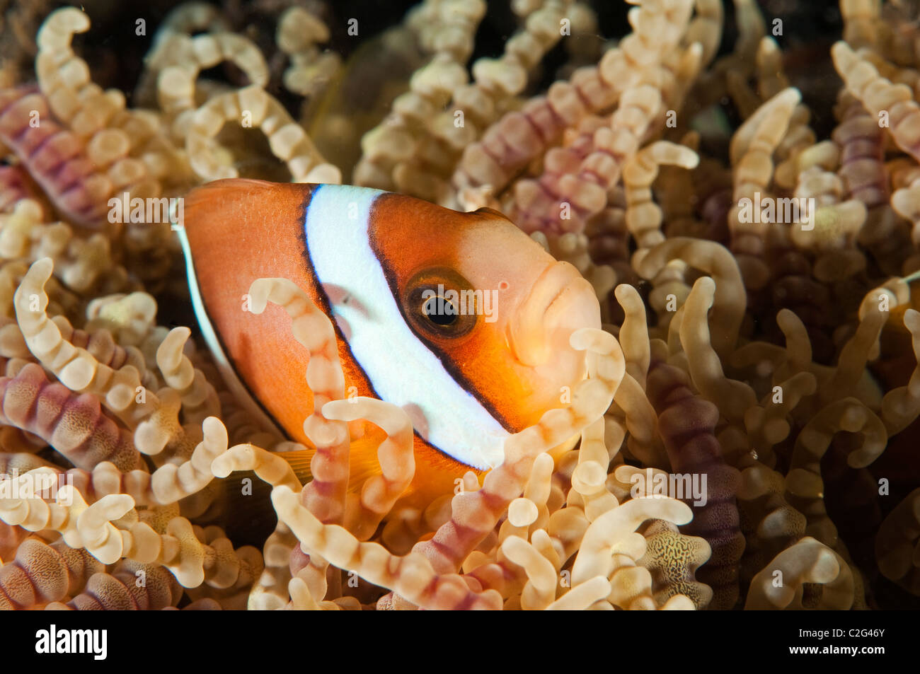 Clark anemonefish, Amphiprion clarkii, in a beaded sea anemone, Sulawesi Indonesia. - Stock Image